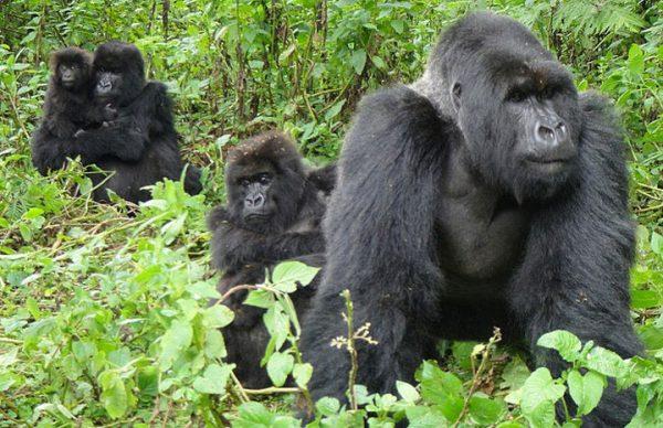 mountain gorilla silverback
