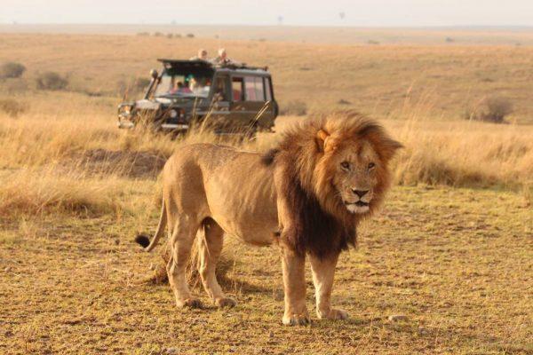 Mara rekero camp lion region